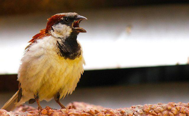 SmartphoneDumb-Irritado-Birds