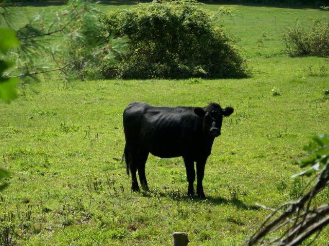 vaca-good1