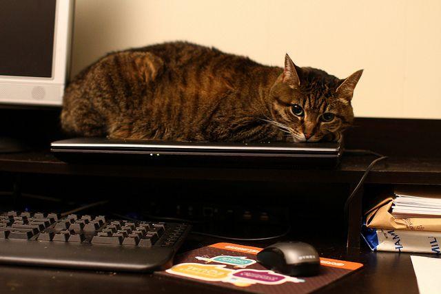 gato em laptop